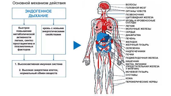 польза эндогенного дыхания