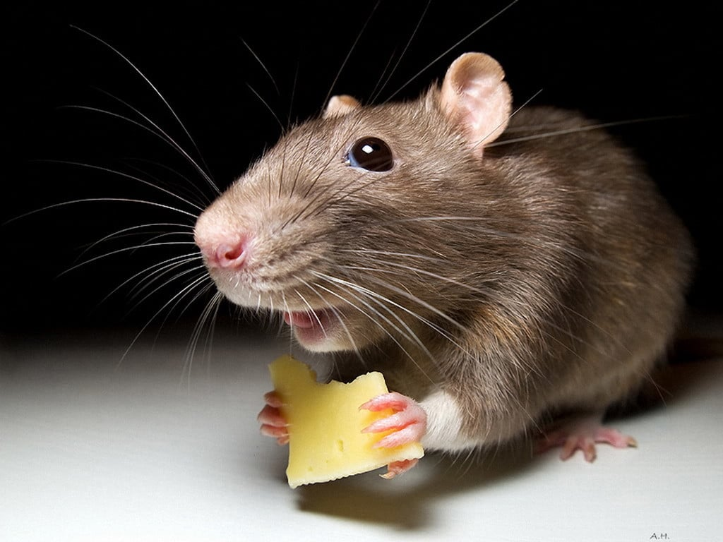 Лучшее средство от мышей в доме