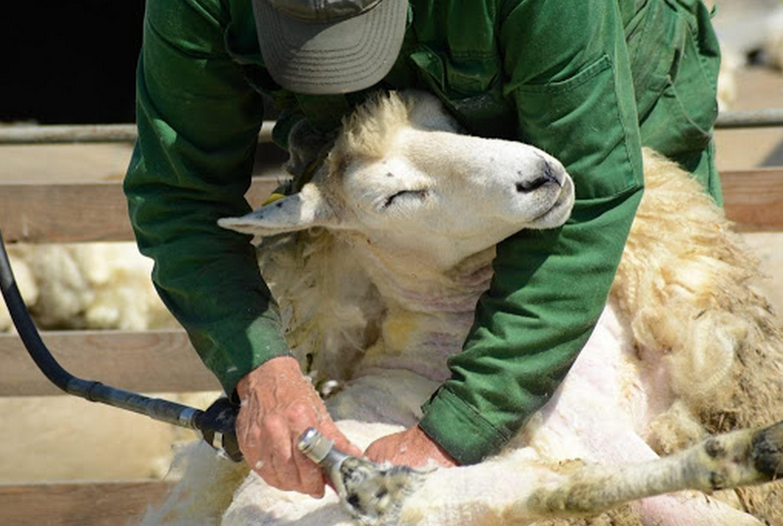 Машинка для стрижки овец. Обзор лучших машинок, правила стрижки